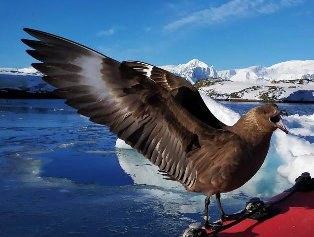 Птах скуа (фото Анни Соіної)